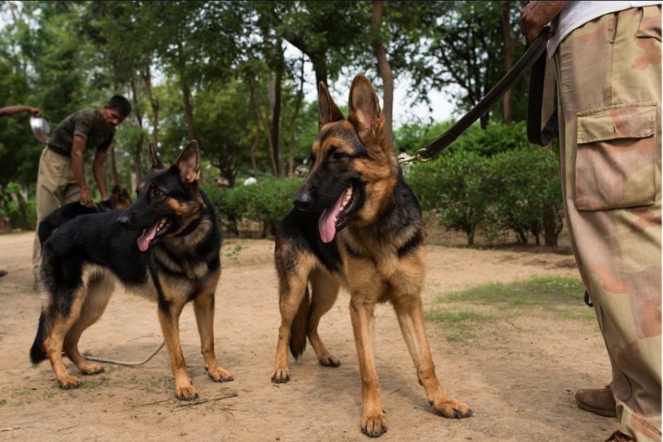 बॉर्डर पर तैनात सैनिकों के लिए 'संकट-मोचन' साबित हो रहे हैं ये ट्रेंड कुत्ते